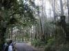 01289-eucalyptusbomen