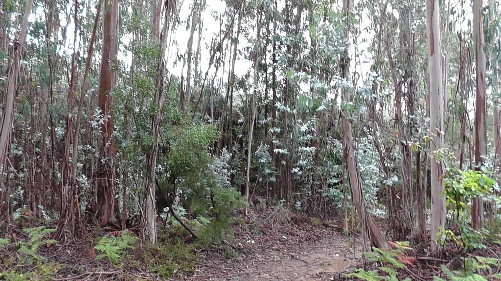 Veel eucalyptusbossen